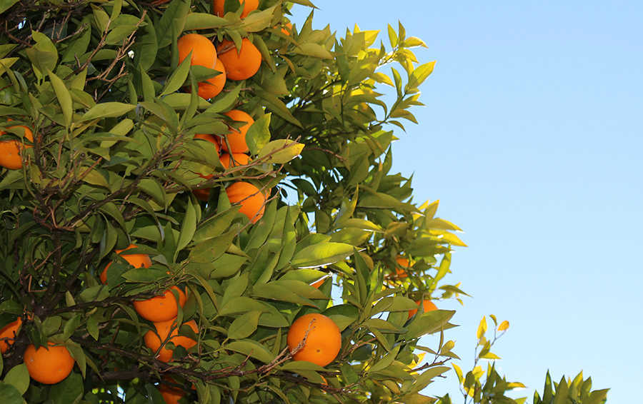 Incurable Disease Threatens US Citrus Crop